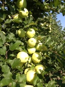 Parlee apples