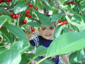 Parlee Farms Cherry Picking
