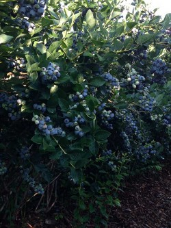 Blueberry Field at Parlee Farms
