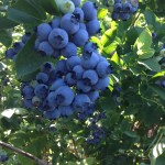 blueberries_20140705a