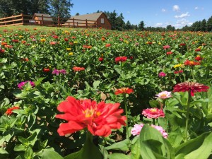 Cut Your Own Flowers at Parlee Farms!