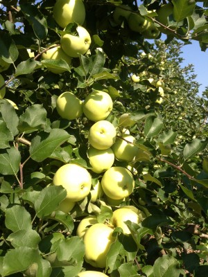 Ginger Gold Apple Picking at Parlee Farms!