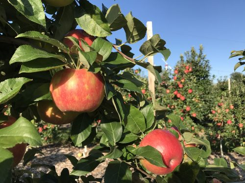 Pick Your Own Honey Crisp at Parlee Farms