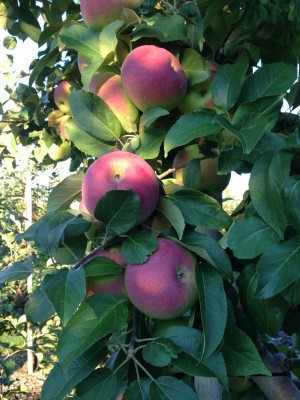 Apple Picking at Parlee Farms, Tyngsboro MA