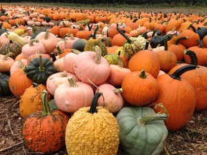 Over 40,000 pumpkins grown right here at Parlee Farms!