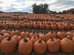 Over 40,000 Pumpkins grown at Parlee Farms!