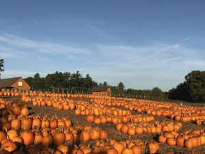 Thousands of Pumpkins at Parlee Farms