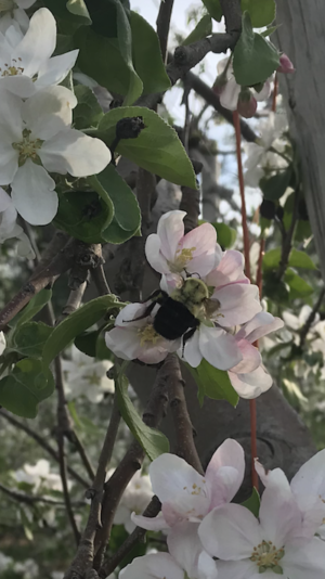 Bumble bee pollinating apple blossom at Parlee Farms