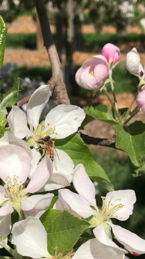Honey bee pollinating apple blossom at Parlee Farms