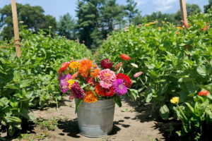 Cut Your Own Flowers at Parlee Farms