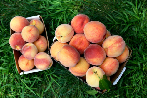 Pick Your Own Peaches at Parlee Farms