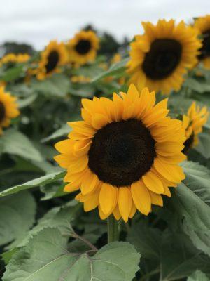 Sunflower Garden at Parlee Farms