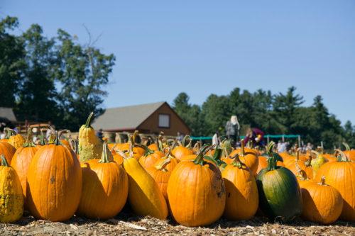 Hundreds of Farm Grown Pumpkins at Parlee Farms