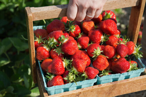 Pick Your Own Strawberries at Parlee Farms