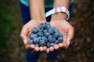 Pick Your Own Blueberries at Parlee Farms