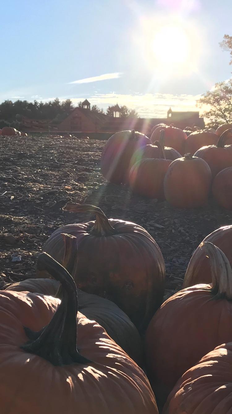Our Farm Grow Pumpkins in the Parlee Farms Pumpkin Patch