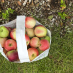 Pick Your Own Apples at Parlee Farms