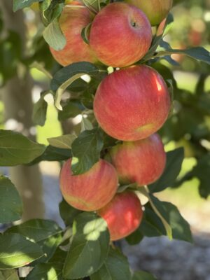 Pick Your Own Honeycrisp Apples at Parlee Farms